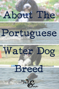About Portuguese Water Dog Breed - My PWD and Me