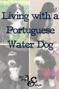 Living with a Portuguese Water Dog - My PWD and Me