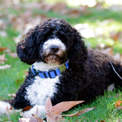 About the Portuguese Water Dog
