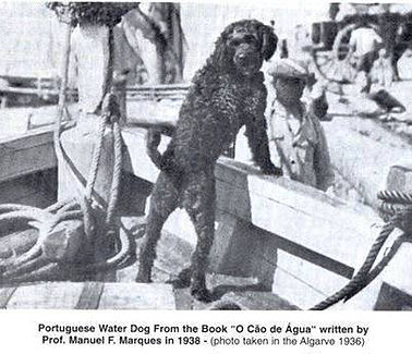Portuguese Water Dog - On Boat